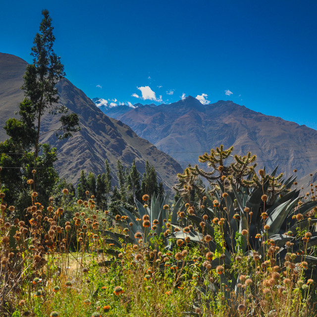 """Sunflowers in Sacred Valley"" stock image"