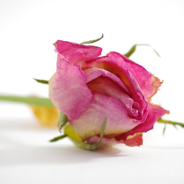 """Dying Rose"" stock image"