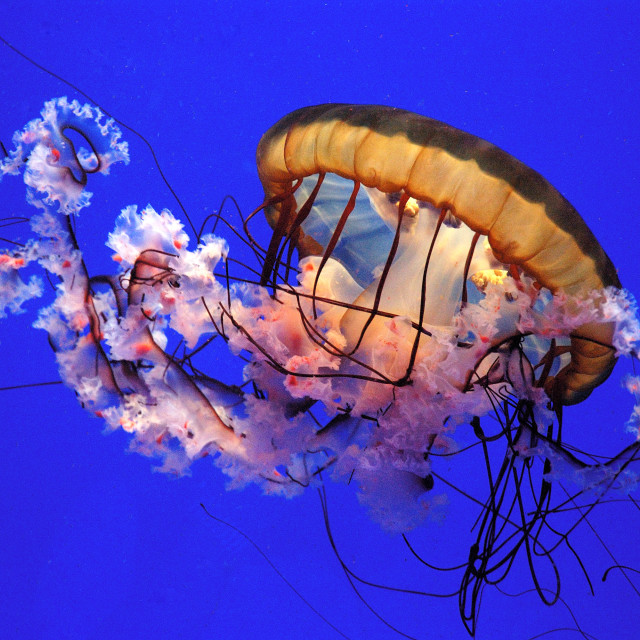 """Jelly Fish"" stock image"