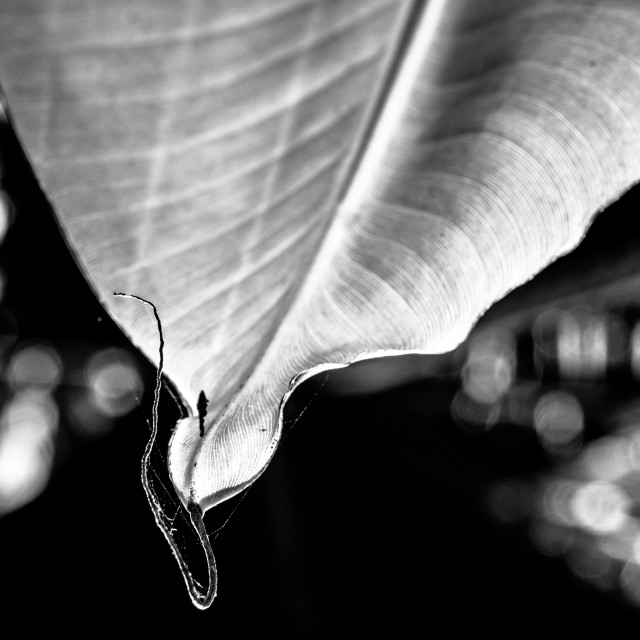 """A banana leaf"" stock image"