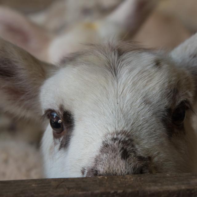 """Lamb peeing over"" stock image"