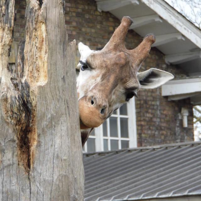 """""""Peekaboo Giraffe"""" stock image"""