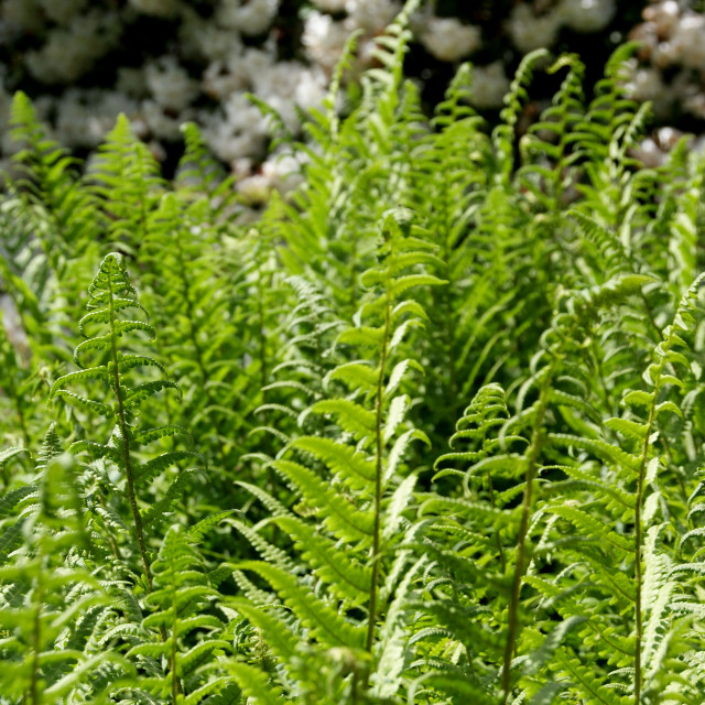 """Ferns"" stock image"