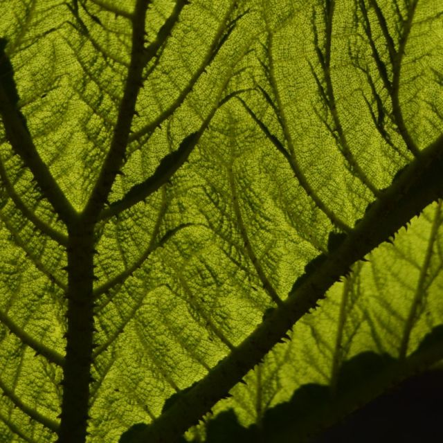"""A Gunnera leaf in Sunlight"" stock image"