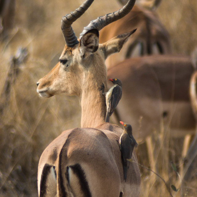 """Impala with Oxpecker"" stock image"