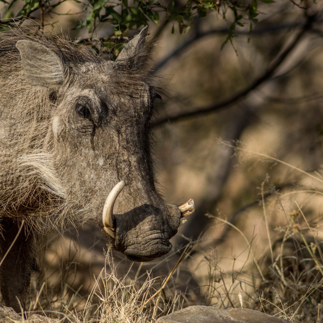 """Warthog with 1 broken tusk"" stock image"