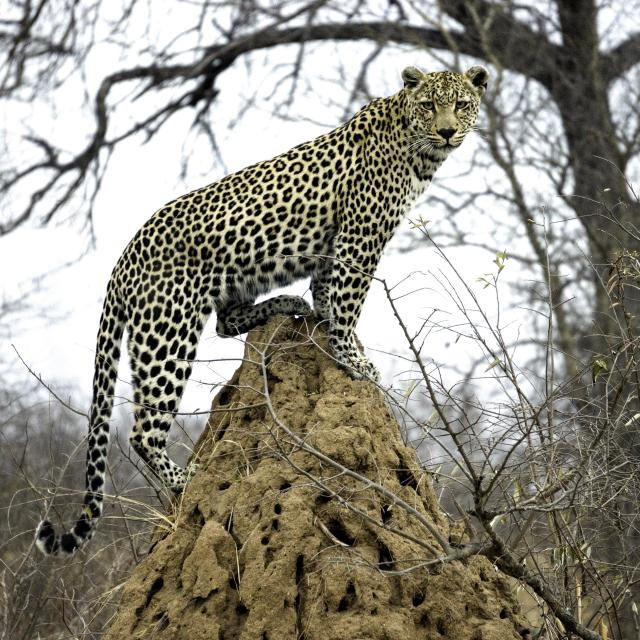 """Leopard on anthill"" stock image"