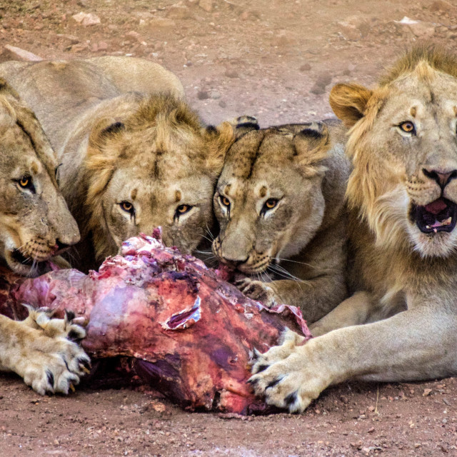 """Pride of lions feeding"" stock image"