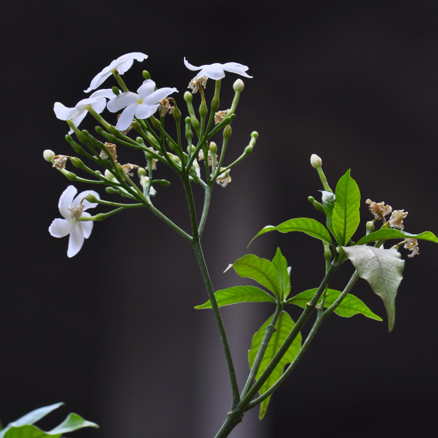 """Fresh white flowers."" stock image"