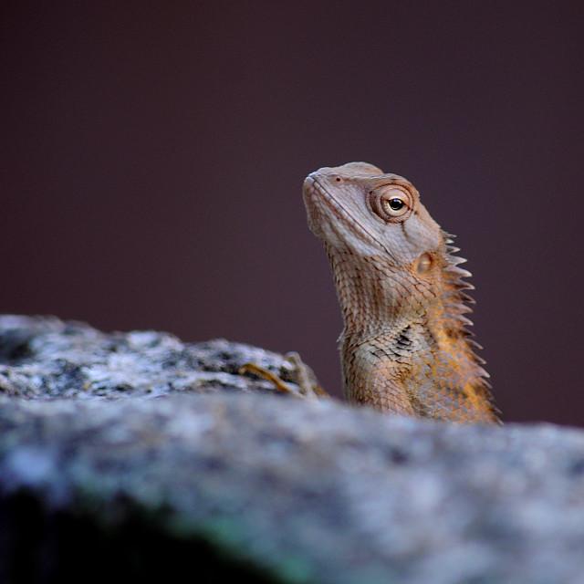 """""""Garden lizard half profile."""" stock image"""