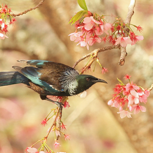 """Tui in Blossom Cherry Tree"" stock image"