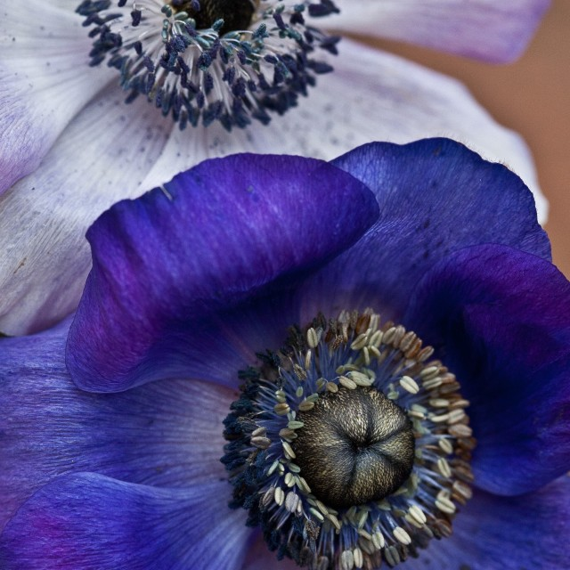 """Purple and White Anemone"" stock image"