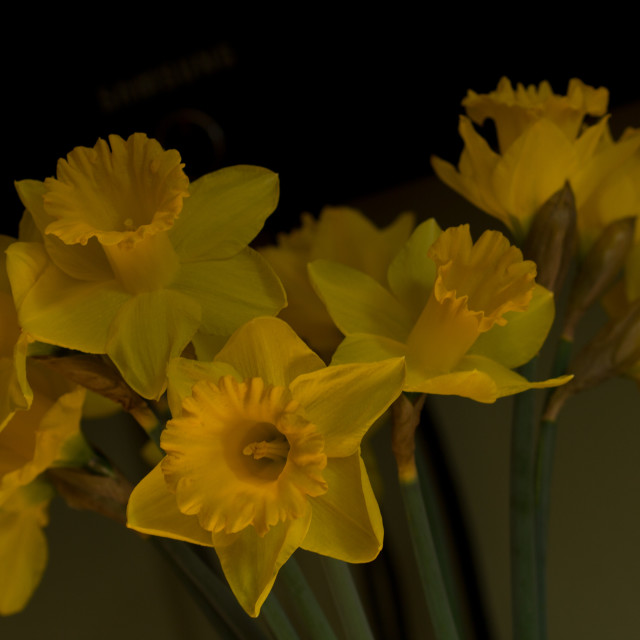 """Daffodil Arrangement"" stock image"