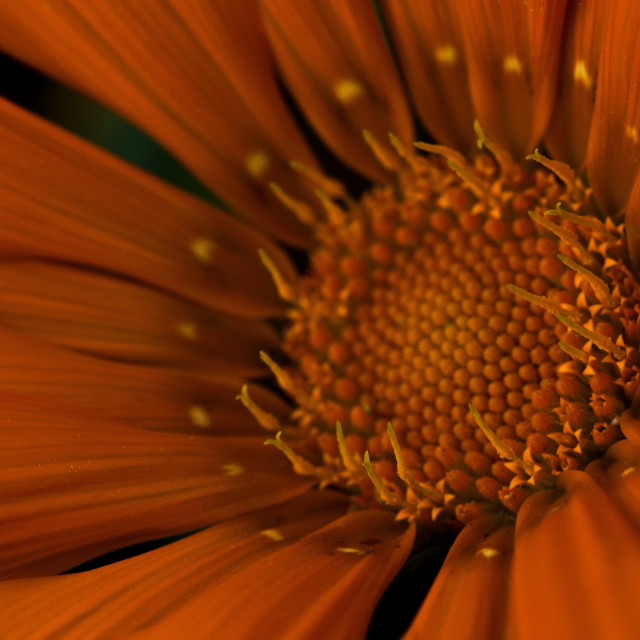 """Orange Gazania Stamen"" stock image"