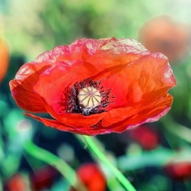 """Red poppy flower"" stock image"