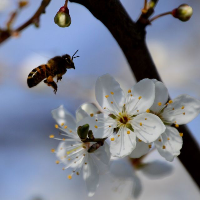 """""""A bee collecting nectar"""" stock image"""