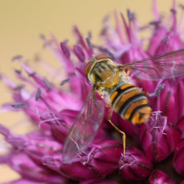 """""""Hoverfly on clover flower"""" stock image"""