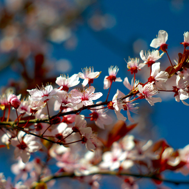 """""""Blooming cherry blossom branch"""" stock image"""