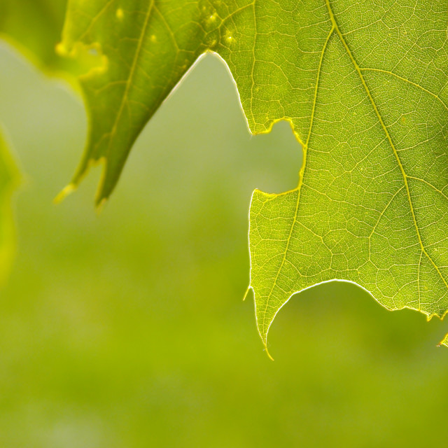 """Backlit pin oak leaves"" stock image"