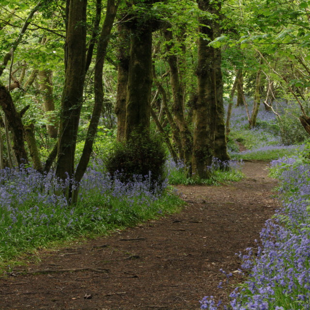 """Bluebell walk"" stock image"