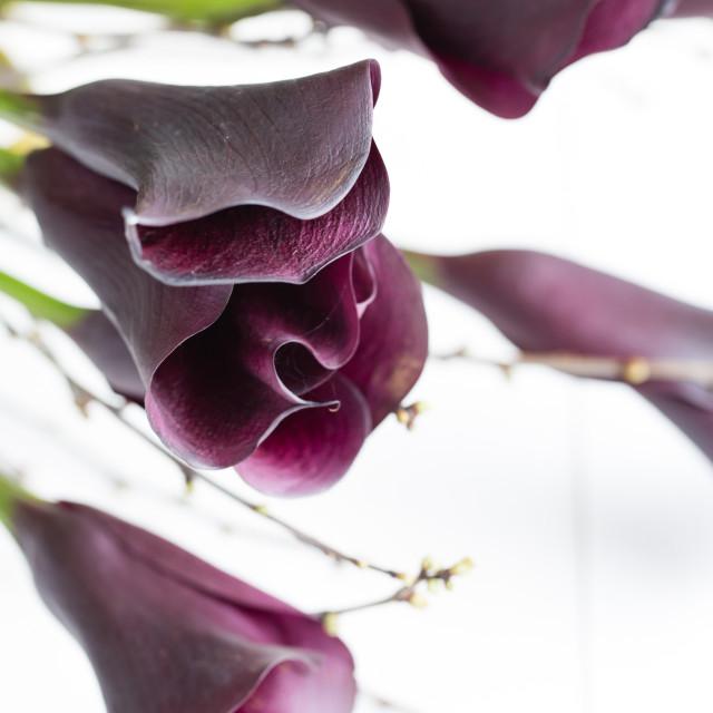 """Dark cala lilies on white wood"" stock image"