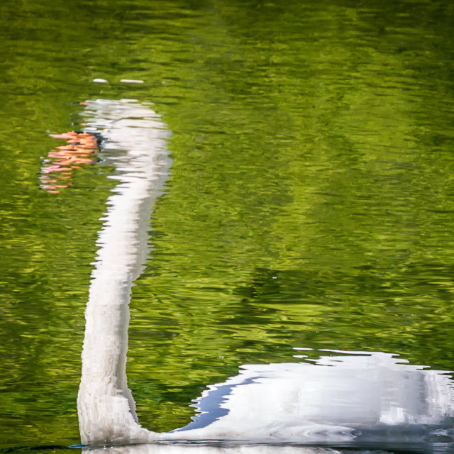 """Swanflection"" stock image"