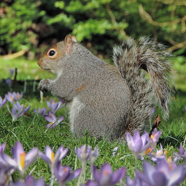 """Squirrel in Flowers"" stock image"