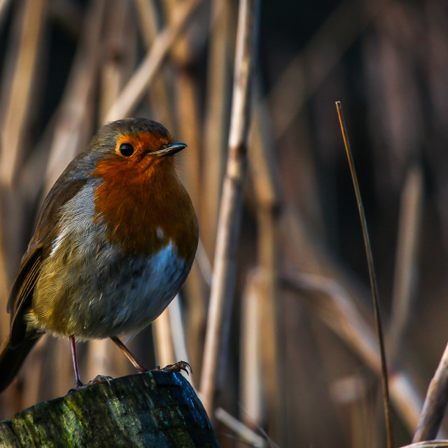 """Robin at Rest"" stock image"
