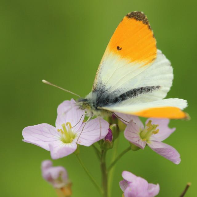 """Butterfly feeding on cuckooflower"" stock image"