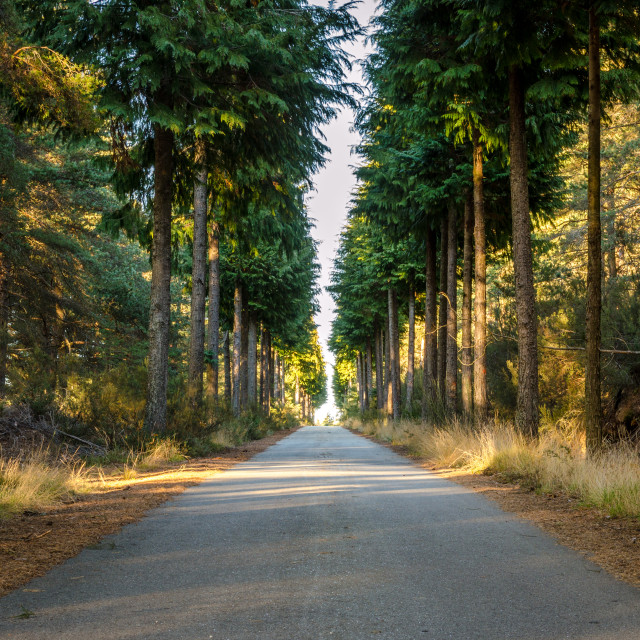 """Road lost in a pine forest."" stock image"