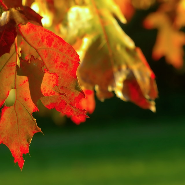 """Backlit red pin-oak tree leaves"" stock image"