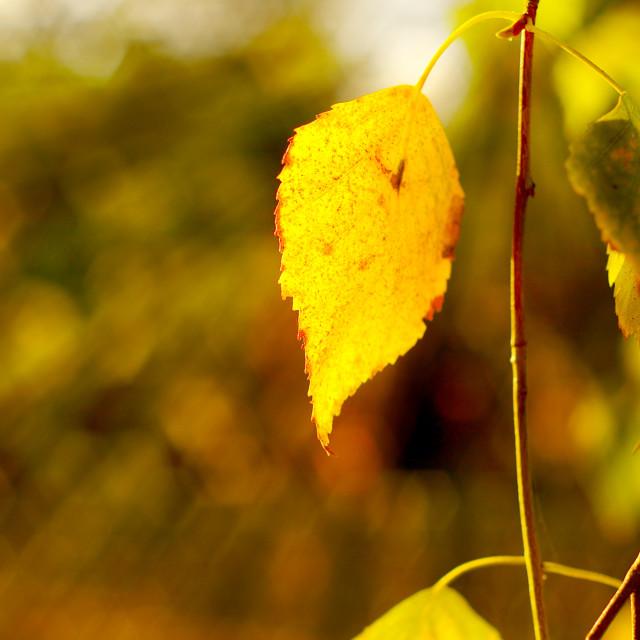 """Birch leaf"" stock image"