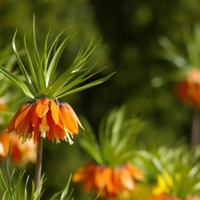 """Orange Brilliant Lillys"" stock image"