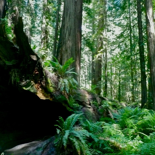 """""""Fallen Redwood"""" stock image"""