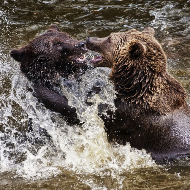 """Bears"" stock image"