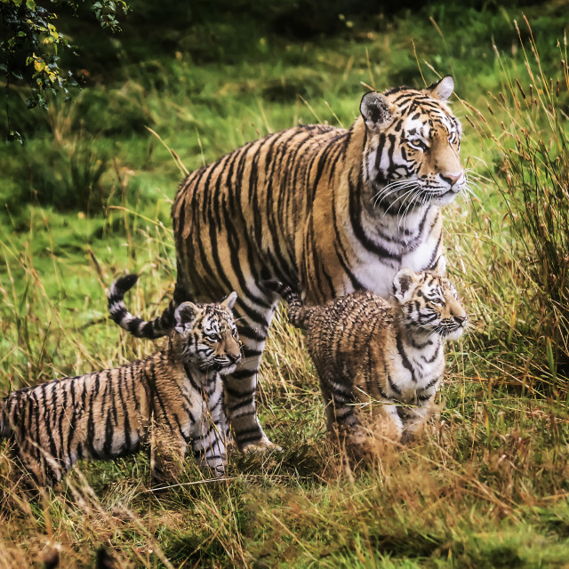 """Tiger Family"" stock image"