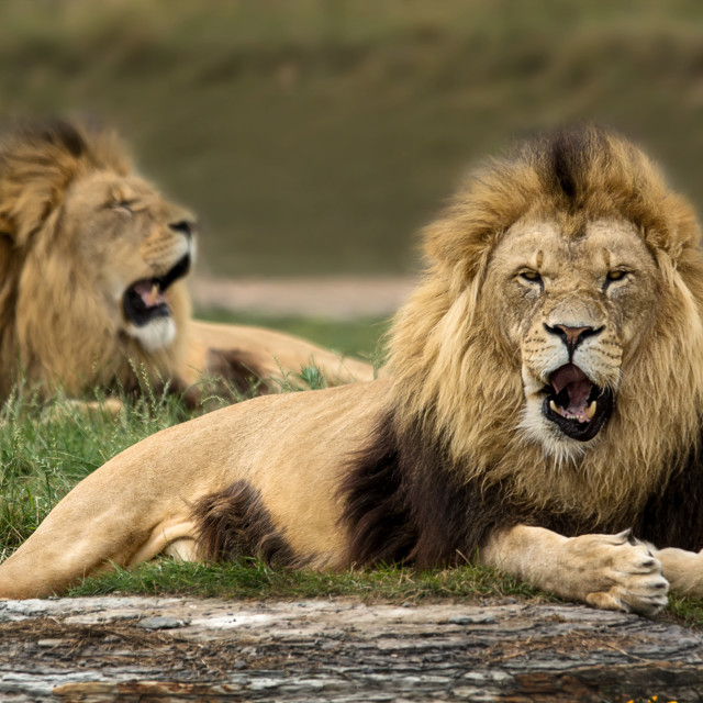 """Lions"" stock image"