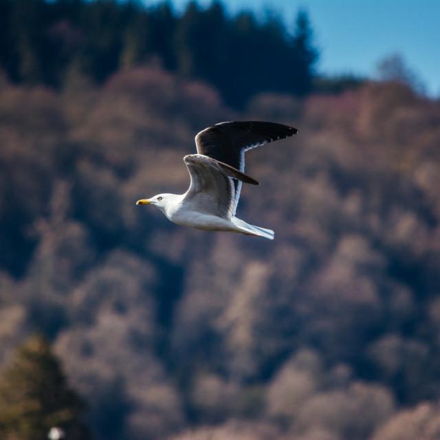 """""""Seagull Midflight"""" stock image"""