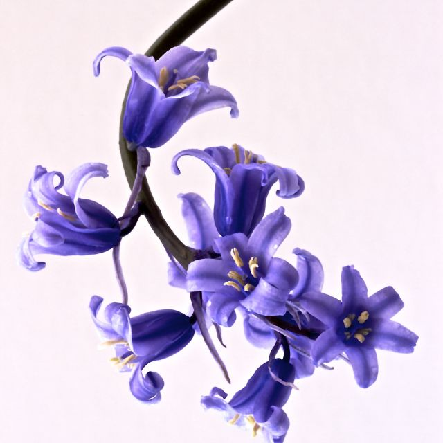 """bluebell"" stock image"