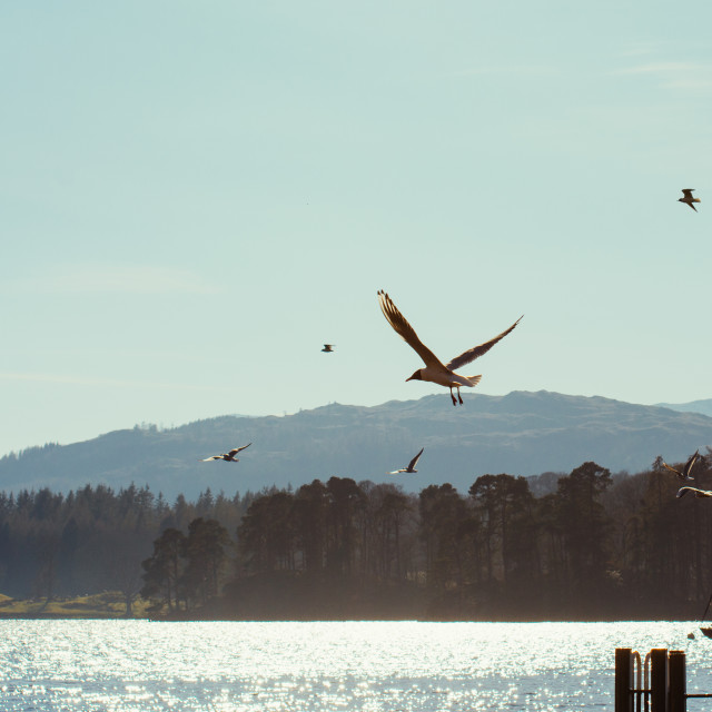 """Birds, Flying over a lake"" stock image"