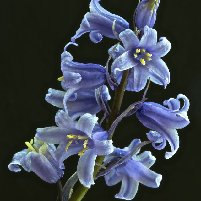 """bluebell 3"" stock image"