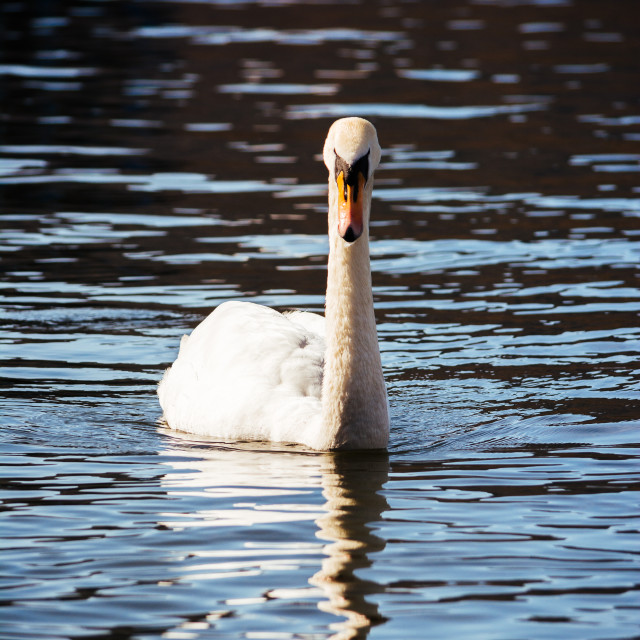 """Swan on water"" stock image"