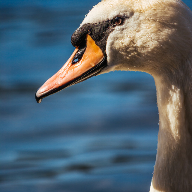 """Swan Head - Close Up"" stock image"