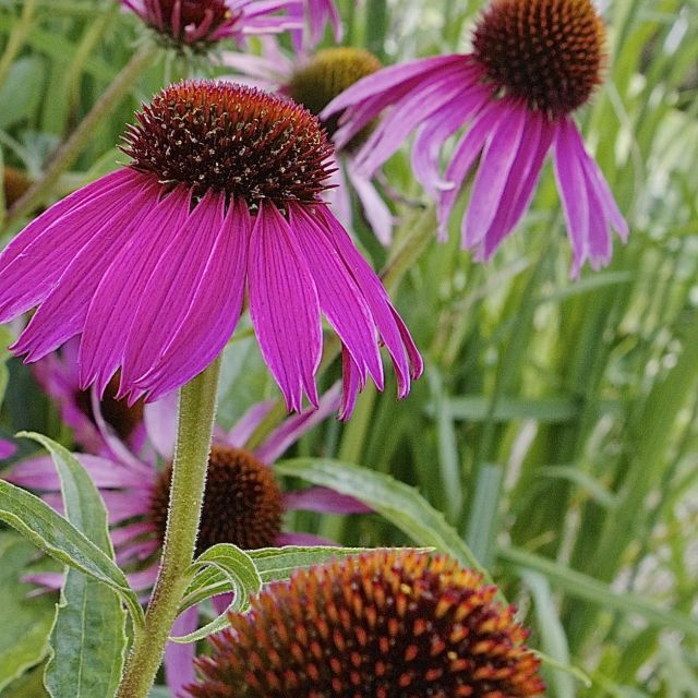 """coneflower"" stock image"