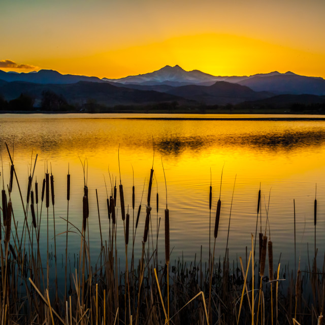 """Cattails (Typha) at Sunset"" stock image"