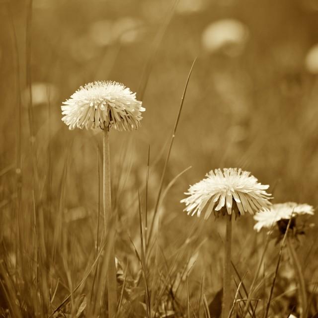 """""""Sepia Dandelions in Spring"""" stock image"""