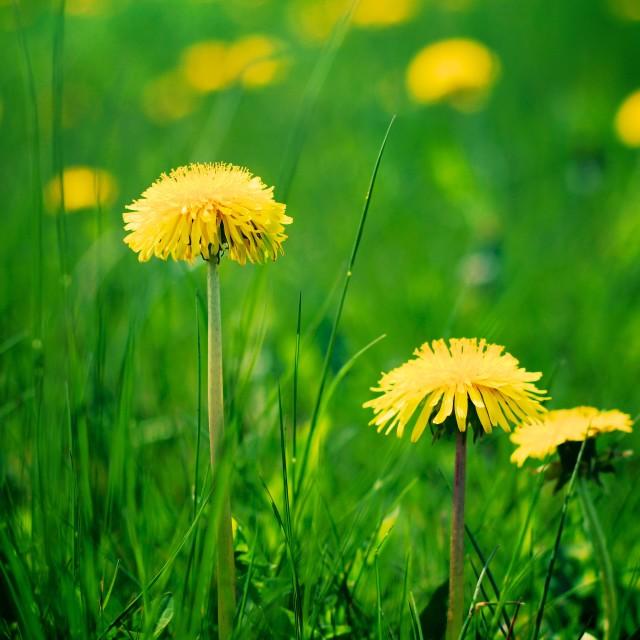 """""""Vivid Dandelions in Spring"""" stock image"""