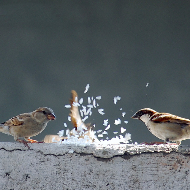"""Sparrows feeding, while one crashes into wall."" stock image"