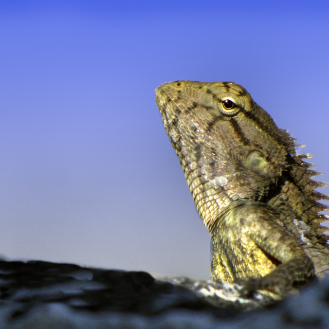 """Garden lizard on wall."" stock image"