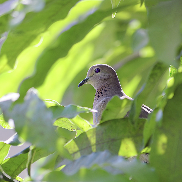"""A Laughing Dove on a tree."" stock image"